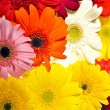 Gerberas Background — Stock Photo #17631173