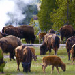 Yellowstone Bisons — Stock Photo