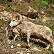 Montana Bighorn Sheep — Stock Photo