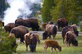 Yellowstone Bisons — Stock Photo