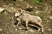 Montana Bighorn Sheep — Stock Photo