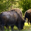 Yellowstone Bisons - Stock Photo