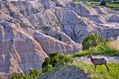 Badlands Wildlife Animals — Stock Photo