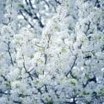 ciruelo salvaje floreciente árbol — Foto de Stock
