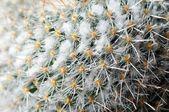 Cactus Macro Photo — Stock Photo