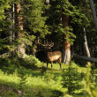 Stock Photo: Colorado Deer
