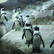 Foto Stock: Arctic Pinguins