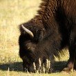 AmericBison — Stock Photo #17675459