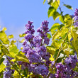 Lilac - Syringa Flowers — Stock Photo
