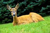 Colocación de los ciervos — Foto de Stock