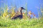 Young Mallard Duck — Stock Photo