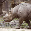 Black Rhinoceros — Stock Photo #18188213