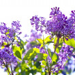 Violet Lilac Flowering — Stock Photo