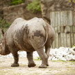 Rhinoceros — Stock Photo #18189975