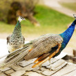 Peacocks Peafowl — Stock Photo