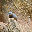 Meerkat on the Tree — Stock Photo