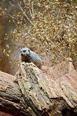 Meerkat on the Tree — Stock Photo