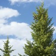 Stock Photo: Spruce Trees