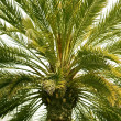 Canary Palm — Stock Photo