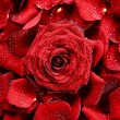 Royalty-Free Stock Photo: Red Rose Background