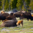 Постер, плакат: Wyoming Buffaloes