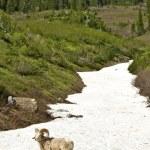 Mountain Bighorn Sheep — Stock Photo
