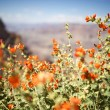 Arizona Red Flowers — Stock Photo