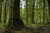 Mossy Washington Rainforest — Stock Photo