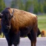 Wyoming Bison — Stock Photo #27410583