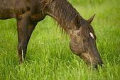 Cheval manger d'herbe — Photo