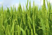 Young Wheat Ears — Stock Photo
