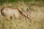 California Elk in Grass — Stock Photo