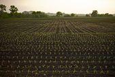 Farmland Corn Field — Stock Photo
