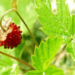 Wild Strawberry — Stock Photo #29258715