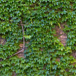Stock Photo: Ivy Wall