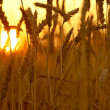Wheat in Sunset — Stock Photo