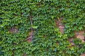 Ivy Wall — Stock Photo