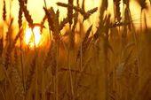 Wheat in Sunset — Stock Photo