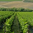 CaliforniVineyard Rows — Stock Photo #30569813