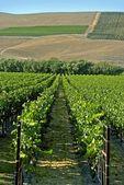 California Vineyard Rows — Stock Photo