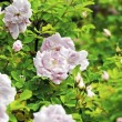 Light Pink Roses — Stockfoto
