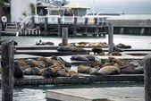 Sea Lions — Stock Photo