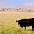 Cow on Prairie — Stock Photo #32369131