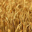 Wheat Closeup — Stock Photo #32369311