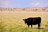 Cow on Prairie — Stock Photo