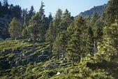Bosque de sierra nevada — Foto de Stock