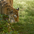 Amur Tiger Walk — Stock Photo