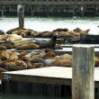 Sea Lions in Harbor — Stock Photo