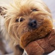 Stock Photo: Small Dog Play with Toy