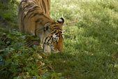 Amur Tiger Walk — Stock Photo